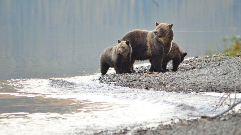 Encounter a bear in British Columbia